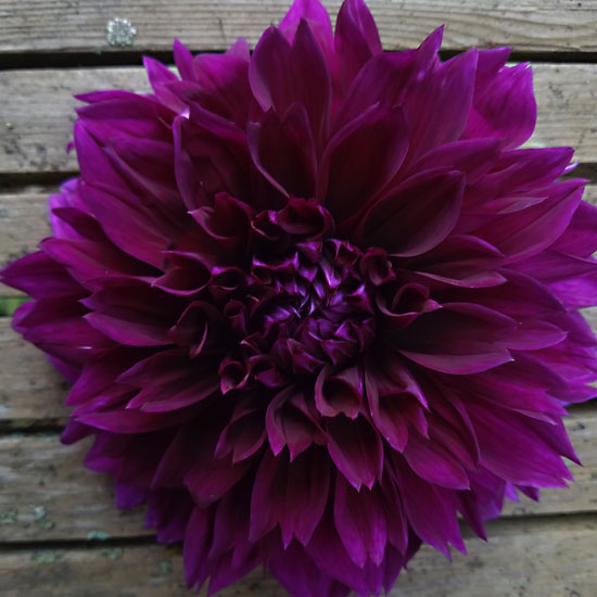 Dahlia - Dinnerplate - Thomas Edison & Dahlia - Dinnerplate - Thomas Edison [dahlia] : Michigan Flower Farm ...