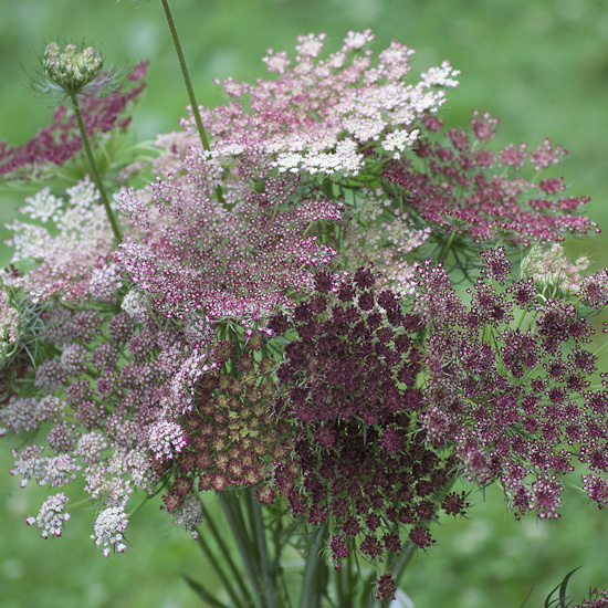 Ammi - Dara [Daucus carota] : Michigan Flower Farm ...