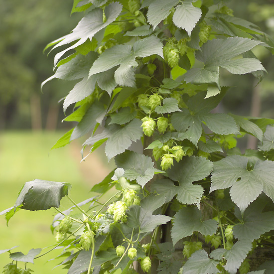 Hops - Flower Cluster - Click Image to Close