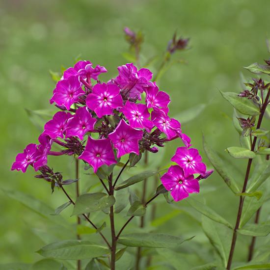 Phlox perennial phlox paniculata michigan flower farm locally phlox perennial mightylinksfo