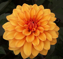 Dahlia -Small - Click Image to Close